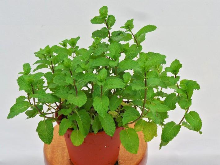 Hướng dẫn cách trồng cây bạc hà: Vừa làm duyên cho tổ ấm vừa bảo vệ sức khỏe cả nhà - Ảnh 9.