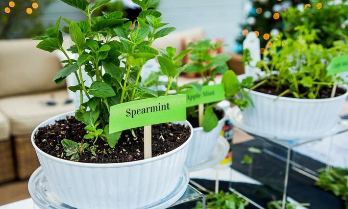 Hướng dẫn cách trồng cây bạc hà: Vừa làm duyên cho tổ ấm vừa bảo vệ sức khỏe cả nhà - Ảnh 2.