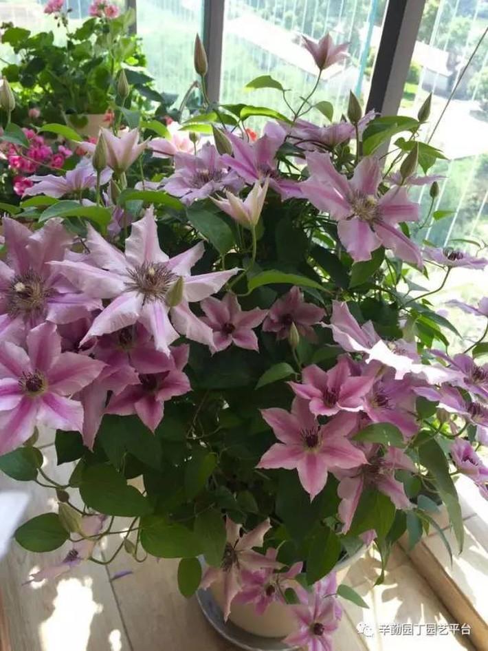 Ban công chỉ rộng vỏn vẹn 7m² nhưng tràn ngập hoa đẹp như cổ tích của bà mẹ bỉm sữa 2 con - Ảnh 18.