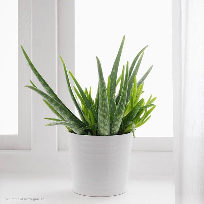7 loại cây cảnh lọc không khí tốt nhất giúp nhà luôn sạch thoáng, trong lành - Ảnh 2.