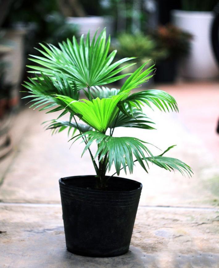 7 loại cây cảnh lọc không khí tốt nhất giúp nhà luôn sạch thoáng, trong lành - Ảnh 7.