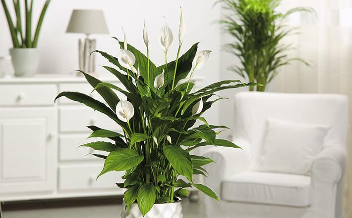 7 loại cây cảnh lọc không khí tốt nhất giúp nhà luôn sạch thoáng, trong lành - Ảnh 4.