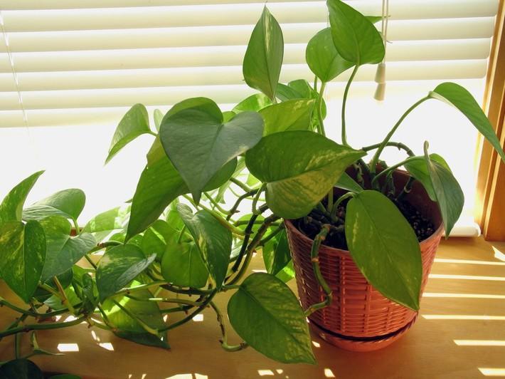 7 loại cây cảnh lọc không khí tốt nhất giúp nhà luôn sạch thoáng, trong lành - Ảnh 3.
