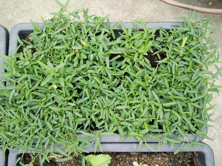 Mẹ đảm ở Quảng Ninh chia sẻ kinh nghiệm 10 năm trồng rau trên sân thượng rộng 75m²  - Ảnh 22.