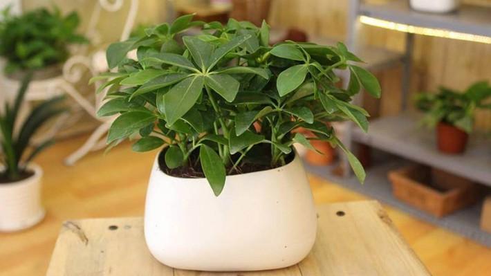 Những loại cây cảnh hút tài lộc nên trồng trong nhà để tiền vào như nước - Ảnh 3.