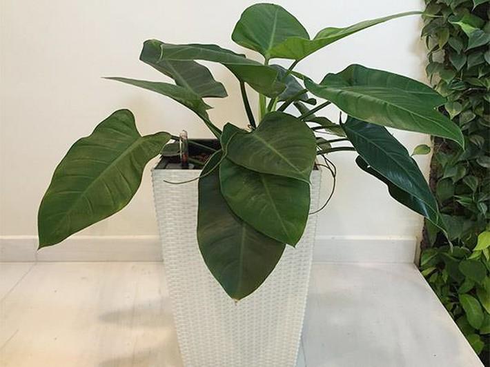 Những loại cây cảnh hút tài lộc nên trồng trong nhà để tiền vào như nước - Ảnh 7.