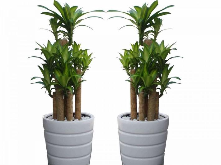 Đánh bay mùi thuốc lá trong phòng bằng cách trồng 8 loại cây xanh dưới đây - Ảnh 7.