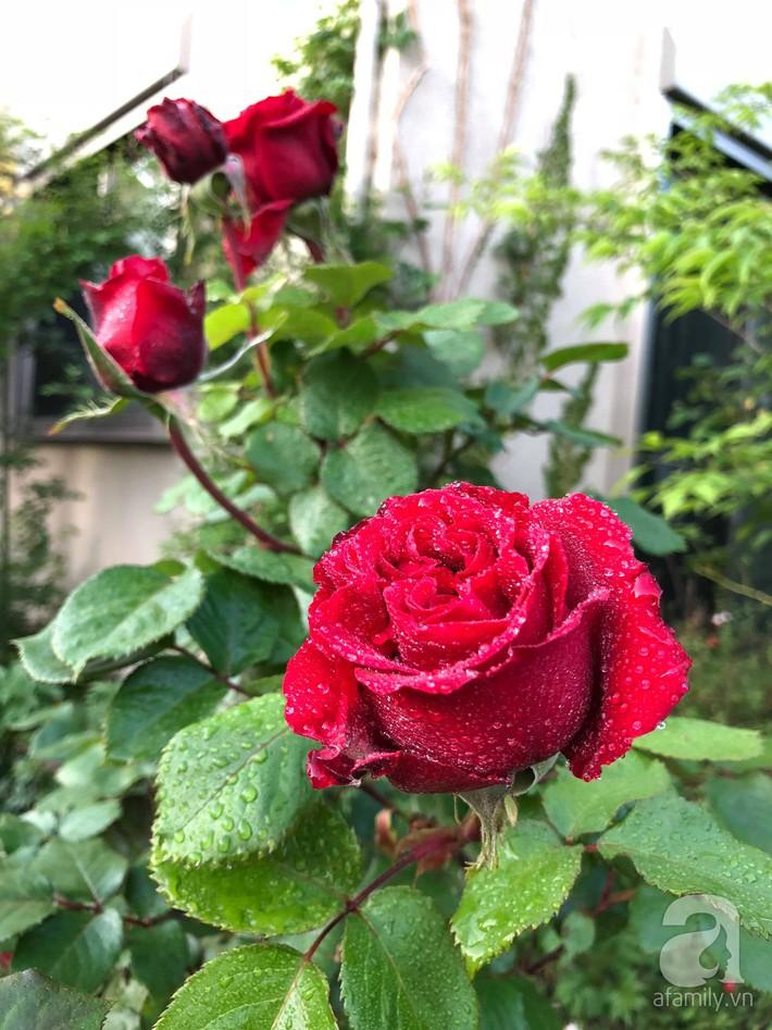 Khu vườn hoa hồng trước nhà đẹp như truyện cổ tích của người đàn ông Việt ở Nhật - Ảnh 18.