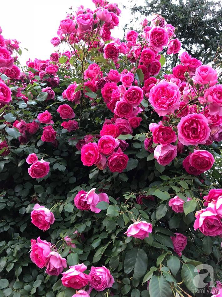 Khu vườn hoa hồng trước nhà đẹp như truyện cổ tích của người đàn ông Việt ở Nhật - Ảnh 9.