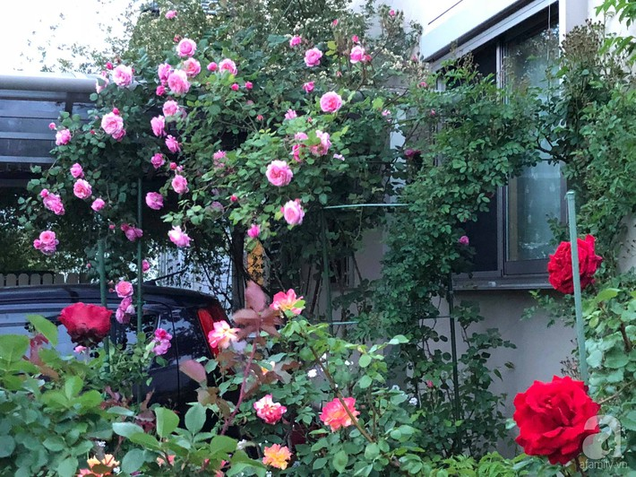 Khu vườn hoa hồng trước nhà đẹp như truyện cổ tích của người đàn ông Việt ở Nhật - Ảnh 7.