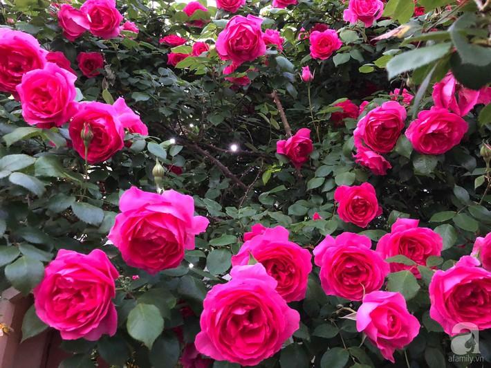 Khu vườn hoa hồng trước nhà đẹp như truyện cổ tích của người đàn ông Việt ở Nhật - Ảnh 6.