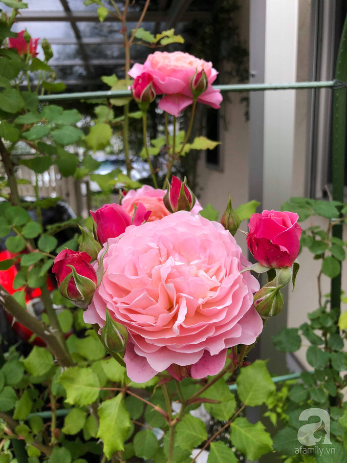 Khu vườn hoa hồng trước nhà đẹp như truyện cổ tích của người đàn ông Việt ở Nhật - Ảnh 15.