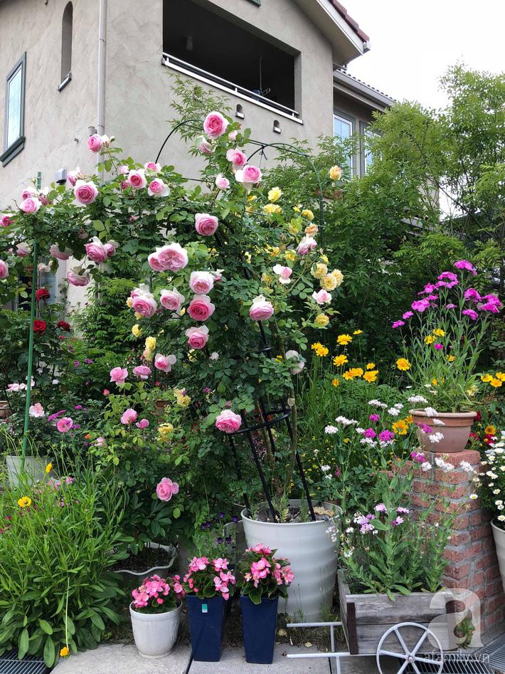Khu vườn hoa hồng trước nhà đẹp như truyện cổ tích của người đàn ông Việt ở Nhật - Ảnh 3.