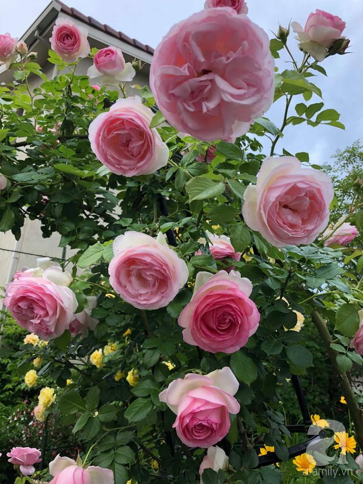 Khu vườn hoa hồng trước nhà đẹp như truyện cổ tích của người đàn ông Việt ở Nhật - Ảnh 12.