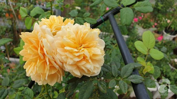 Vườn hồng trên sân thượng rực rỡ sắc màu của chàng trai 8x siêu đảm ở Sài Gòn - Ảnh 14.