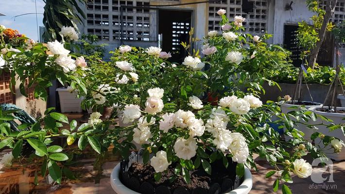 Vườn hồng trên sân thượng rực rỡ sắc màu của chàng trai 8x siêu đảm ở Sài Gòn - Ảnh 1.