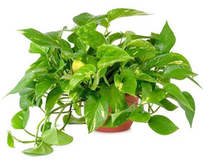 Làm sạch không khí trong nhà bằng cách trồng các loại cây xanh quen thuộc   - Ảnh 4.