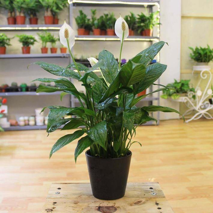 Làm sạch không khí trong nhà bằng cách trồng các loại cây xanh quen thuộc   - Ảnh 6.