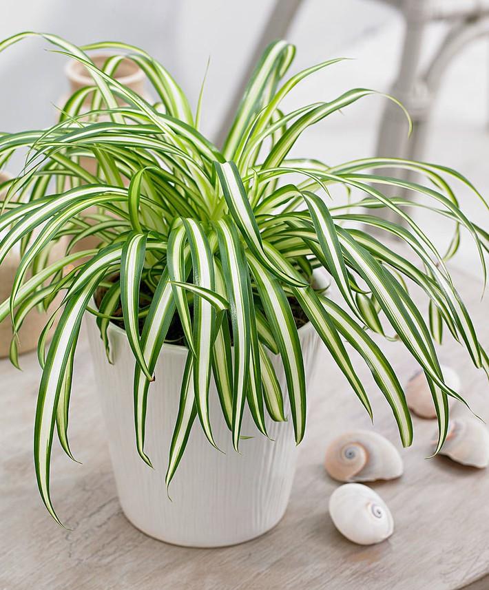 Làm sạch không khí trong nhà bằng cách trồng các loại cây xanh quen thuộc   - Ảnh 7.