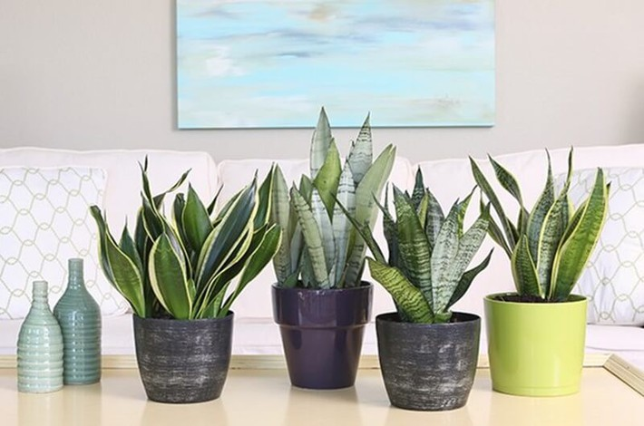Làm sạch không khí trong nhà bằng cách trồng các loại cây xanh quen thuộc   - Ảnh 2.