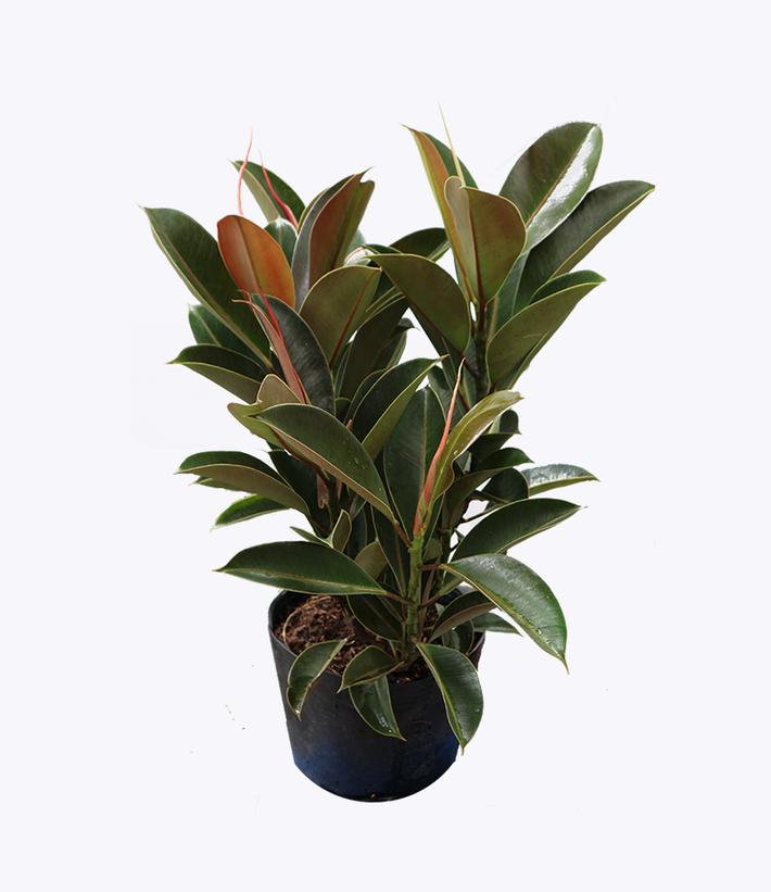 Làm sạch không khí trong nhà bằng cách trồng các loại cây xanh quen thuộc   - Ảnh 9.