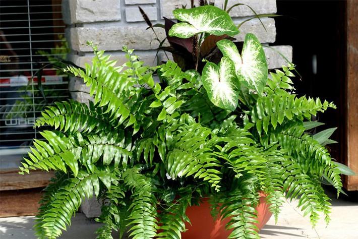 Làm sạch không khí trong nhà bằng cách trồng các loại cây xanh quen thuộc   - Ảnh 1.