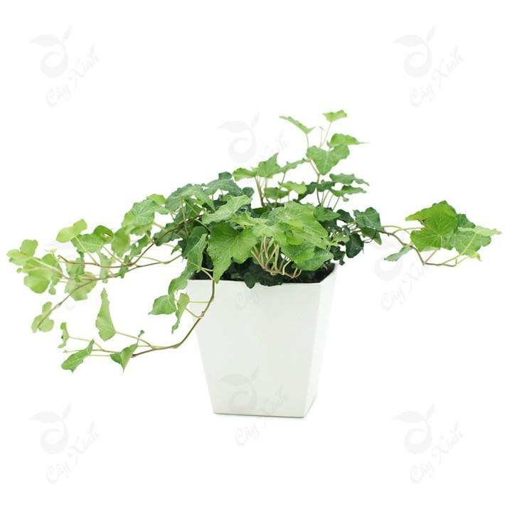 Làm sạch không khí trong nhà bằng cách trồng các loại cây xanh quen thuộc   - Ảnh 8.