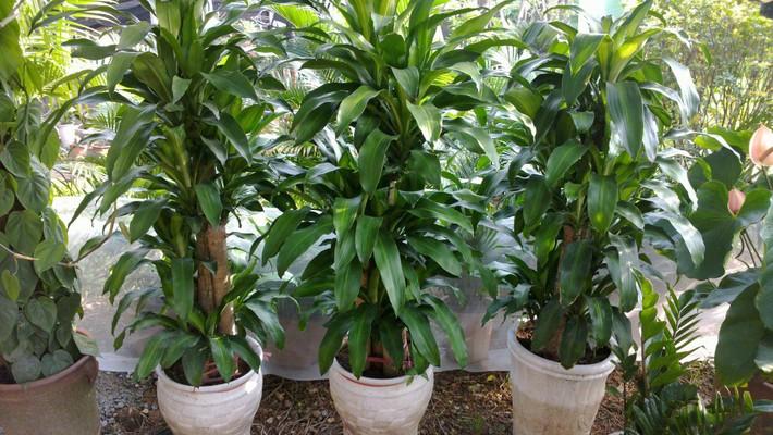 Cẩn trọng khi trồng những cây cảnh ưa chuộng trưng trong nhà nhưng cực độc nếu ăn phải - Ảnh 3.
