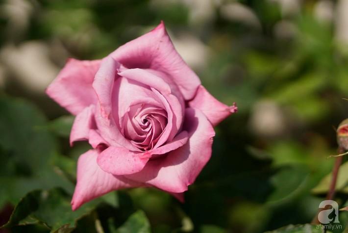 Giàn hồng nghìn bông đẹp như thiên đường hàng ngày được trồng chăm sóc để dành tặng vợ - Ảnh 16.
