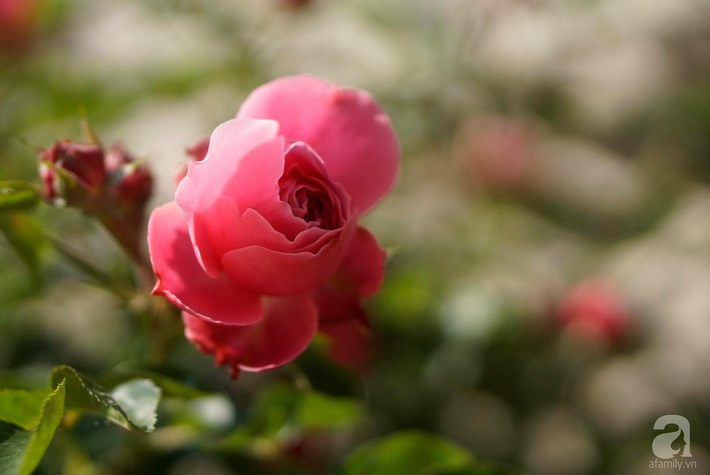 Giàn hồng nghìn bông đẹp như thiên đường hàng ngày được trồng chăm sóc để dành tặng vợ - Ảnh 15.