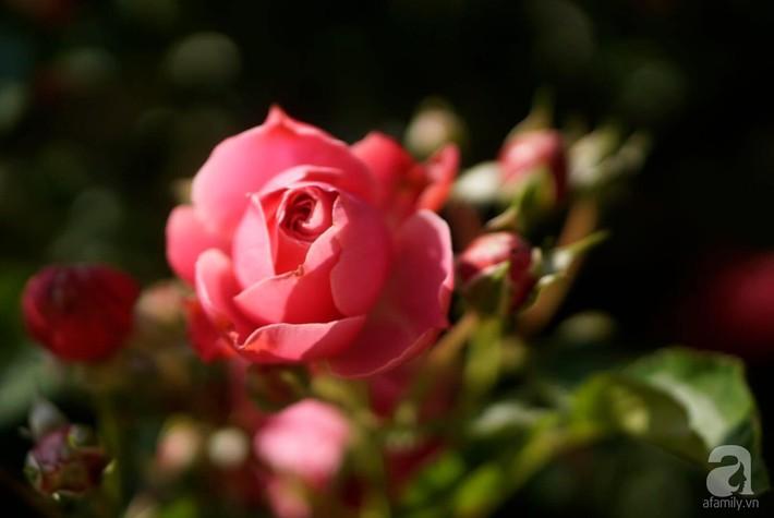 Giàn hồng nghìn bông đẹp như thiên đường hàng ngày được trồng chăm sóc để dành tặng vợ - Ảnh 14.