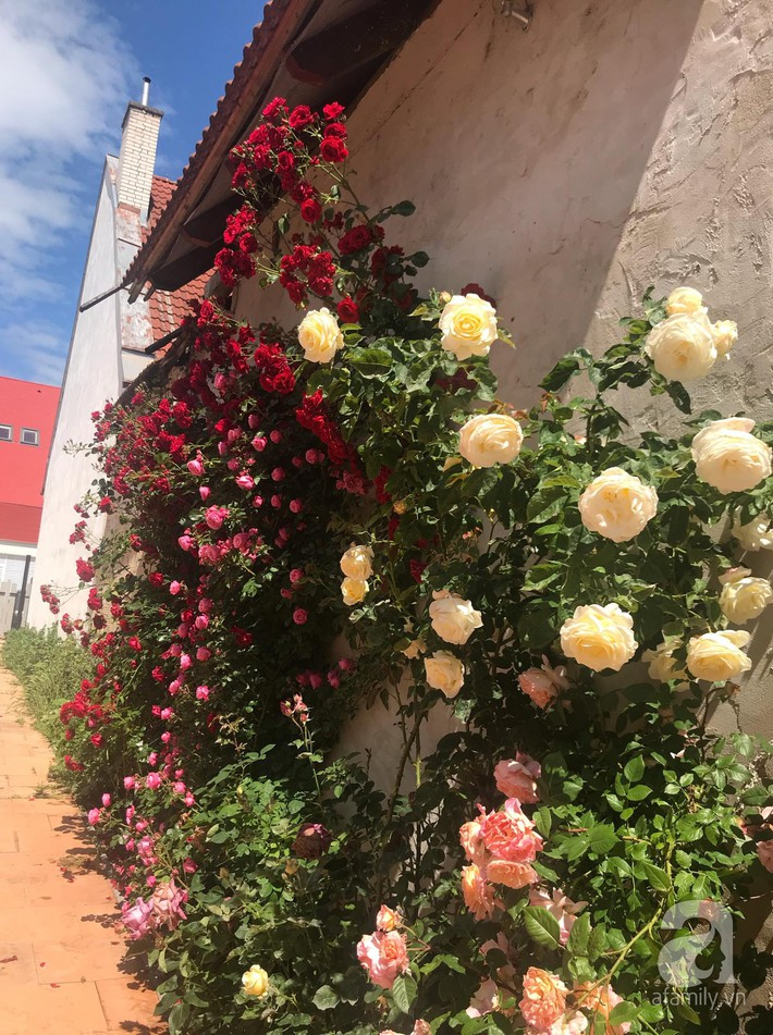 Giàn hồng nghìn bông đẹp như thiên đường hàng ngày được trồng chăm sóc để dành tặng vợ - Ảnh 20.