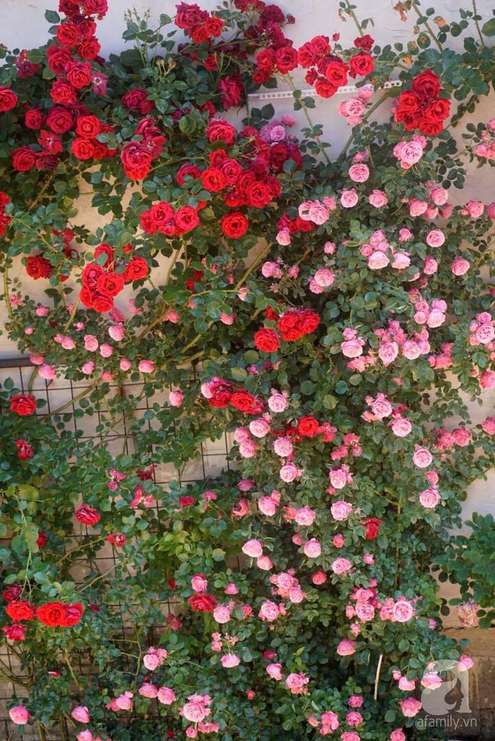 Giàn hồng nghìn bông đẹp như thiên đường hàng ngày được trồng chăm sóc để dành tặng vợ - Ảnh 4.