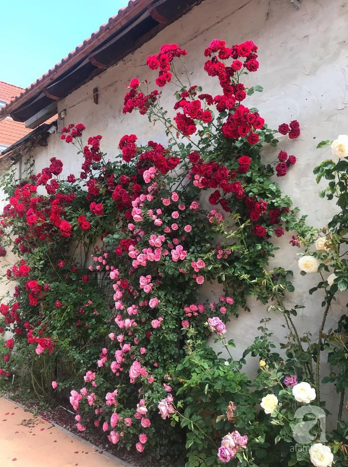 Giàn hồng nghìn bông đẹp như thiên đường hàng ngày được trồng chăm sóc để dành tặng vợ - Ảnh 19.