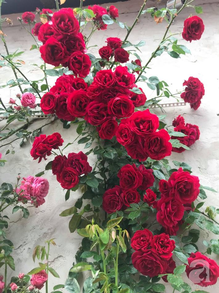 Giàn hồng nghìn bông đẹp như thiên đường hàng ngày được trồng chăm sóc để dành tặng vợ - Ảnh 2.