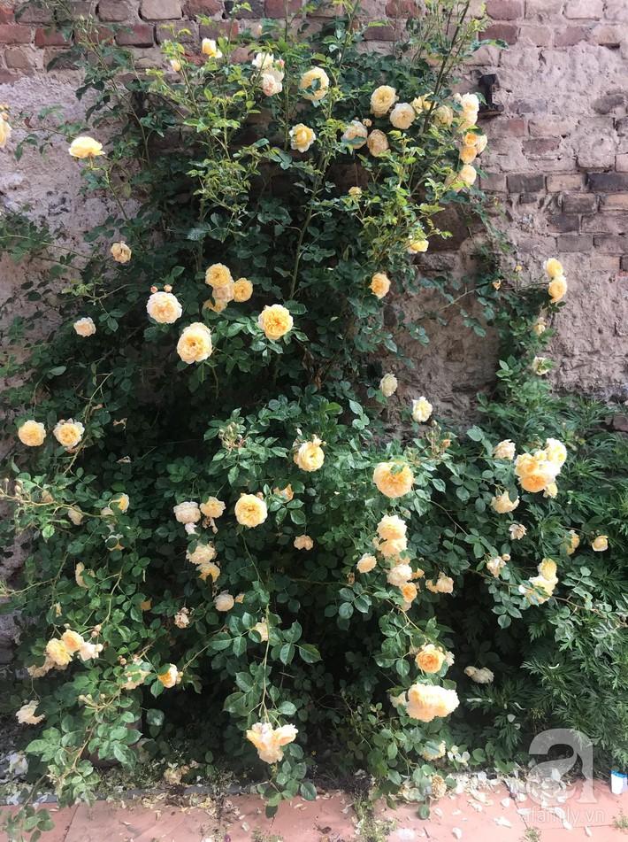 Giàn hồng nghìn bông đẹp như thiên đường hàng ngày được trồng chăm sóc để dành tặng vợ - Ảnh 3.