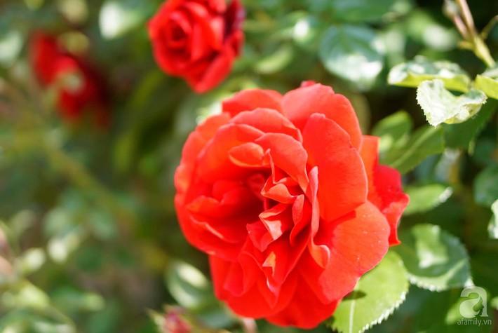 Giàn hồng nghìn bông đẹp như thiên đường hàng ngày được trồng chăm sóc để dành tặng vợ - Ảnh 13.