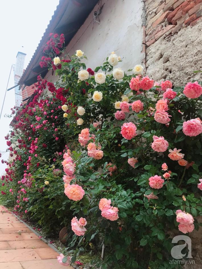 Giàn hồng nghìn bông đẹp như thiên đường hàng ngày được trồng chăm sóc để dành tặng vợ - Ảnh 10.