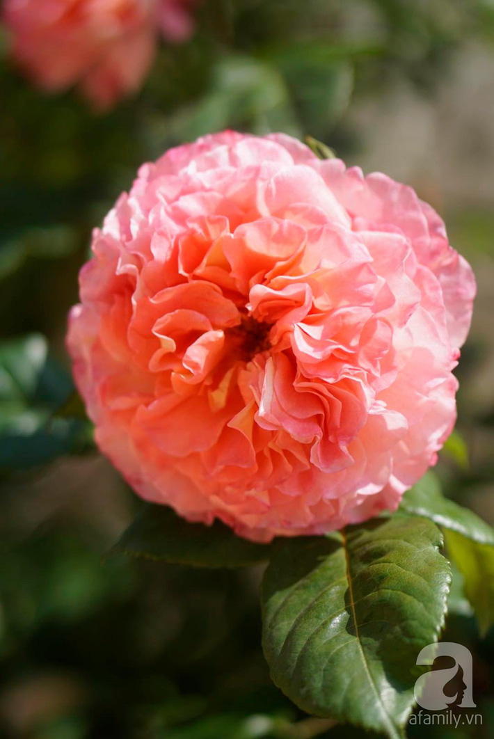 Giàn hồng nghìn bông đẹp như thiên đường hàng ngày được trồng chăm sóc để dành tặng vợ - Ảnh 12.