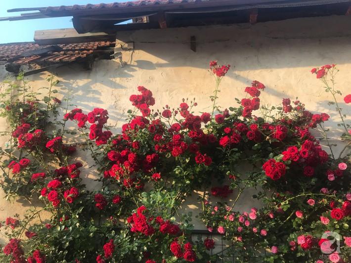 Giàn hồng nghìn bông đẹp như thiên đường hàng ngày được trồng chăm sóc để dành tặng vợ - Ảnh 9.
