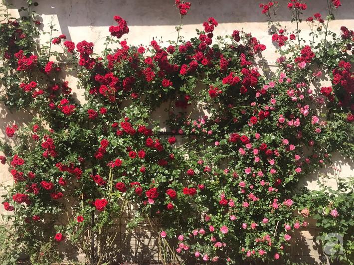 Giàn hồng nghìn bông đẹp như thiên đường hàng ngày được trồng chăm sóc để dành tặng vợ - Ảnh 8.