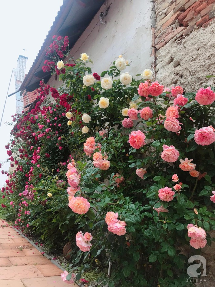 Giàn hồng nghìn bông đẹp như thiên đường hàng ngày được trồng chăm sóc để dành tặng vợ - Ảnh 6.