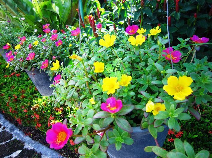 Nhiều người lựa chọn 5 giống hoa này để trồng trong nhà vì chỉ cần cắm xuống là mọc tốt um - Ảnh 1.
