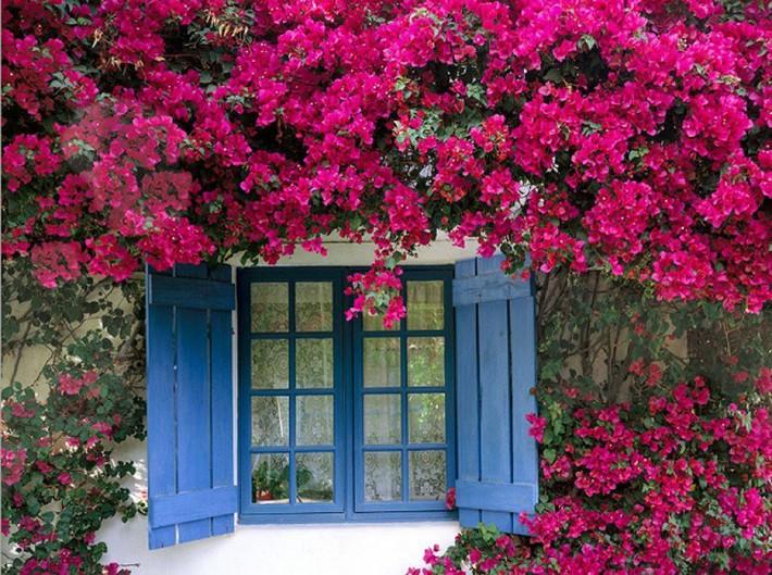 Nhiều người lựa chọn 5 giống hoa này để trồng trong nhà vì chỉ cần cắm xuống là mọc tốt um - Ảnh 2.