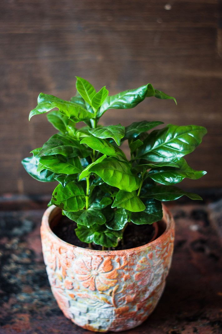 coffea-arabica-coffee-plant-in-a-flower-pot-royalty-free-image-909851626-1553277122