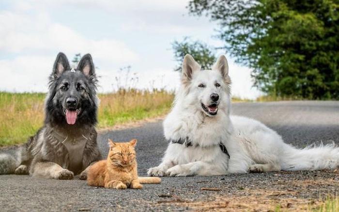 Được cứu sống sau khi bị tai nạn, chú mèo hòa nhập cùng đàn chó lớn và quên mất luôn mình là mèo gây sốt mạng xã hội