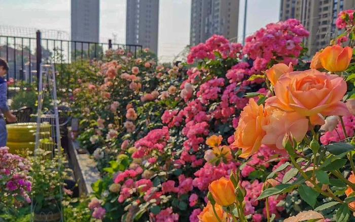 Ghé thăm khoảng sân thượng chung cư được mệnh danh là thiên đường của hoa hồng do một tay người đàn ông chăm chỉ đảm nhiệm