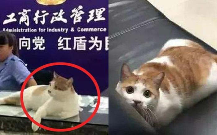 """Loài mèo sắp """"thống trị thế giới"""": Hôm trước mới được bổ nhiệm làm phó hiệu trưởng, nay lại được đặc cách làm cán bộ nhà nước"""