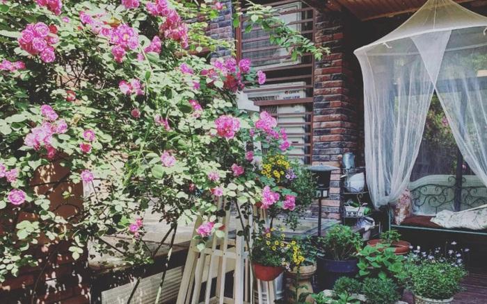 Vườn hồng 22m² rực rỡ sắc hoa đẹp như cổ tích của cô gái trẻ dành cả