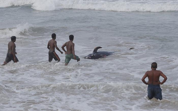 Sri Lanka cứu hộ hàng trăm con cá voi hoa tiêu mắc cạn
